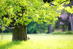 Meadow with tree with fresh green leaves Royalty Free Stock Image