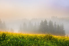 Meadow and trees in the fog. Meadow with mountain herbs and trees in the fog Stock Photography