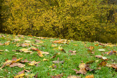 Meadow and trees with yellow leaves Royalty Free Stock Photo