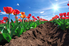 Meadow of tulips Royalty Free Stock Image
