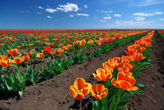 Meadow of tulips Royalty Free Stock Photos