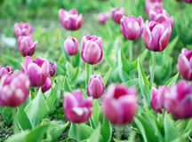 Meadow of tulips Royalty Free Stock Photo
