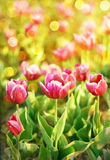 Meadow of tulips Stock Image