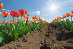 Meadow of tulips. Stock Photography