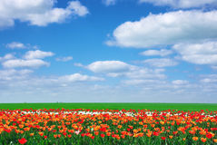 Meadow of tulips Royalty Free Stock Images