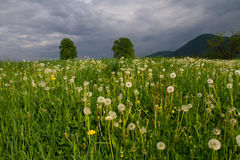 Meadow with twin limes Stock Photography