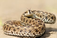 Meadow viper ready to strike Royalty Free Stock Image