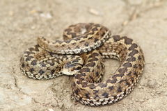 Meadow viper ready to strike Royalty Free Stock Photography