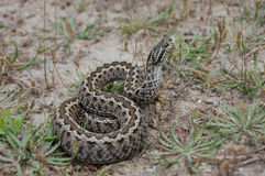 Meadow viper stock photos