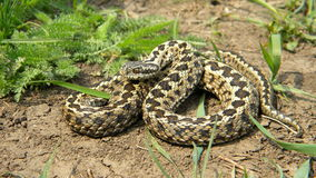 Meadow Viper Stock Images