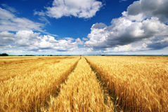 Meadow of wheat Stock Photos