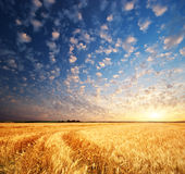 Meadow of wheat Stock Images