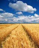 Meadow of wheat Stock Photo