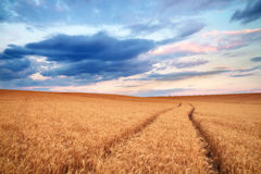 Meadow of wheat. Stock Photos