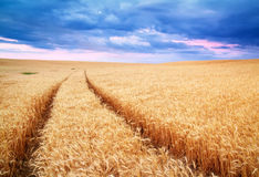 Meadow of wheat. Royalty Free Stock Photo