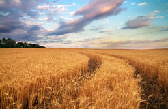Meadow of wheat. Royalty Free Stock Photos
