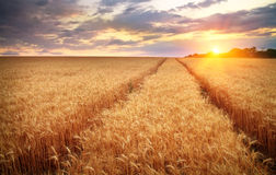Meadow of wheat. Royalty Free Stock Images