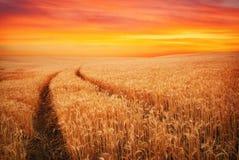 Meadow of wheat. Stock Photos