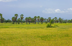 Meadow of wheat Stock Photos