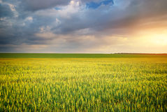 Meadow of wheat Stock Image