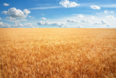 Meadow of wheat. Royalty Free Stock Image
