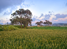 A meadow with a wheat field and trees taken at a location called Fawwara in Malta Stock Images