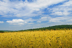 On a meadow wheat grows Royalty Free Stock Photos