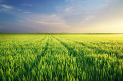 Meadow of wheat Royalty Free Stock Photos