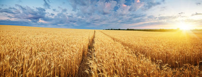 Meadow of wheat. Royalty Free Stock Photography