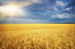 Meadow of wheat Royalty Free Stock Photography