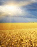 Meadow of wheat Royalty Free Stock Images