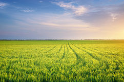 Meadow of wheat. Stock Images