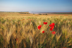 Meadow of wheat and poppy. Stock Photo