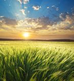 Meadow of wheat. On sundown. Nature composition royalty free stock images