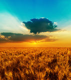 Meadow of wheat and sunset Royalty Free Stock Images