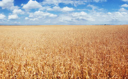 Meadow wheat under sky. Harvest Season. Ukraine Europe Stock Photos