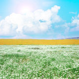 Meadow with white flowers Royalty Free Stock Photos
