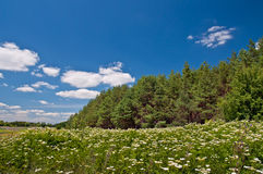 Meadow of white flowers and fir forest. In the background of blue sky Royalty Free Stock Photo