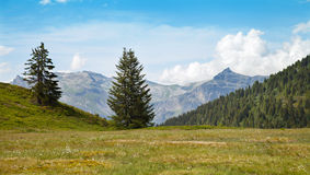 Meadow with white flowers in high mountains Royalty Free Stock Photos