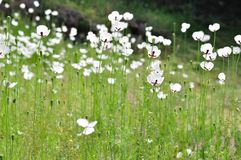 Meadow with white flowers in spring Stock Images