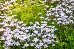 Meadow with White Star Flowers. At the Spring Festival - Floriade in Canberra in Australian Capital Territory Stock Photos