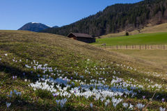 Meadow with white tommy crocus in the alps Royalty Free Stock Photos