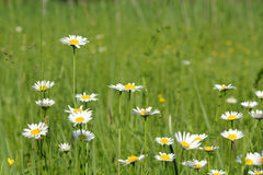 Meadow with white wild flowers Royalty Free Stock Photos