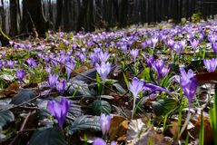 Meadow with wild crocuses in forest. Beautiful springtime scenery on a sunny day. power of nature concept Stock Image