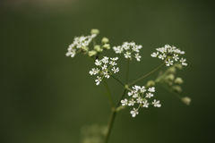 Meadow wild flower blooming Royalty Free Stock Photo