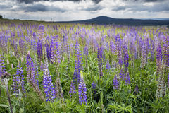 Meadow with wild flowering Lupinus polyphyllus Stock Photography