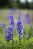 Meadow with wild flowering Lupinus polyphyllus Royalty Free Stock Photo