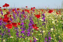 Meadow with wild flowers Royalty Free Stock Photo