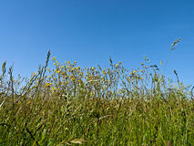 Meadow with wild flowers and grass Royalty Free Stock Photo