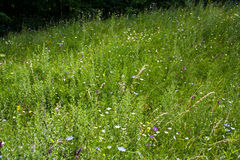 Meadow with wild flowers Royalty Free Stock Image